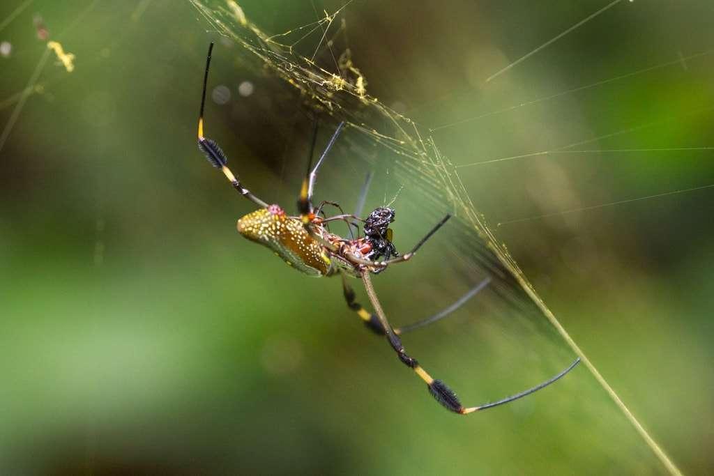 Araña en el Parque nacional Cahuita (Caribe sur), Costa Rica