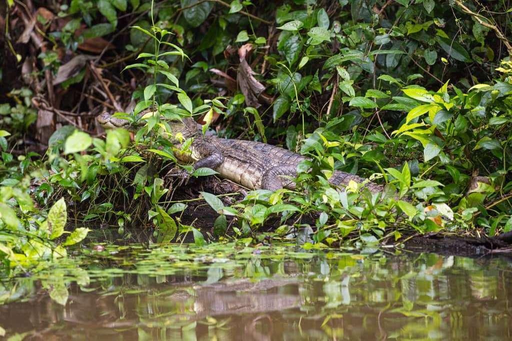 Caimán en los canales de Tortuguero, Costa Rica