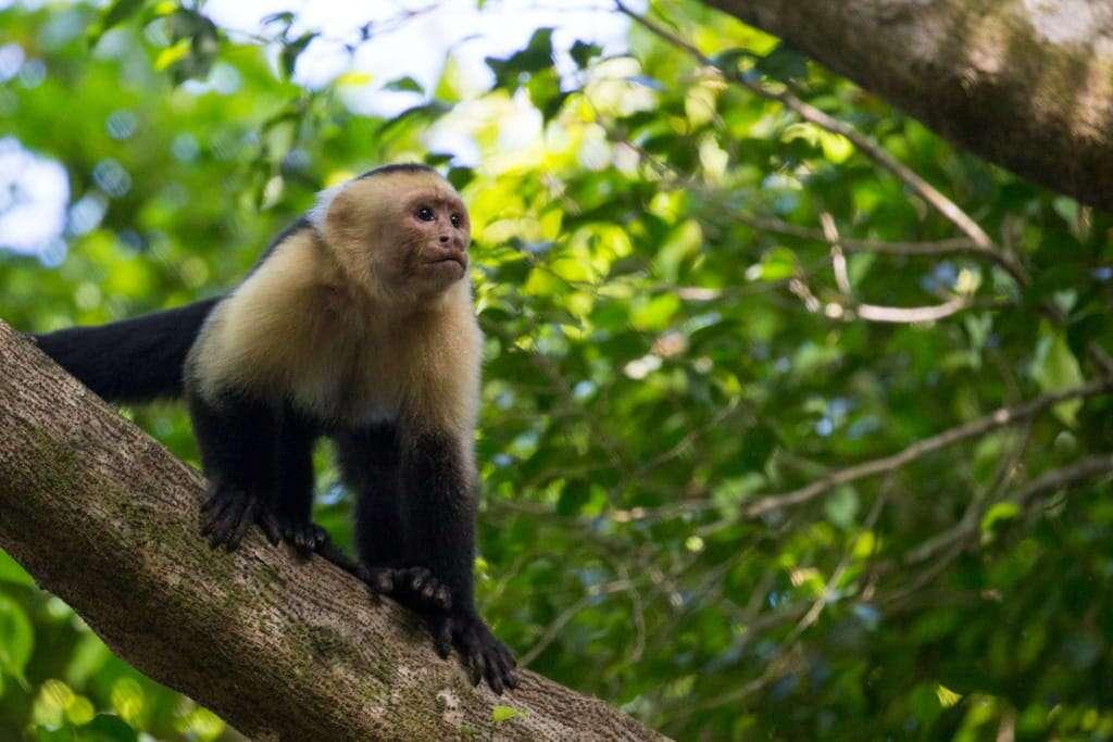 Mono cariblanca en Manuel Antonio, Costa Rica