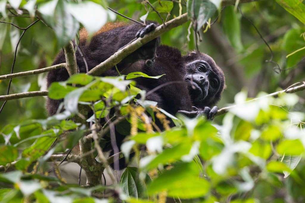 Mono aullador o congo en el Parque nacional Cahuita, Costa Rica