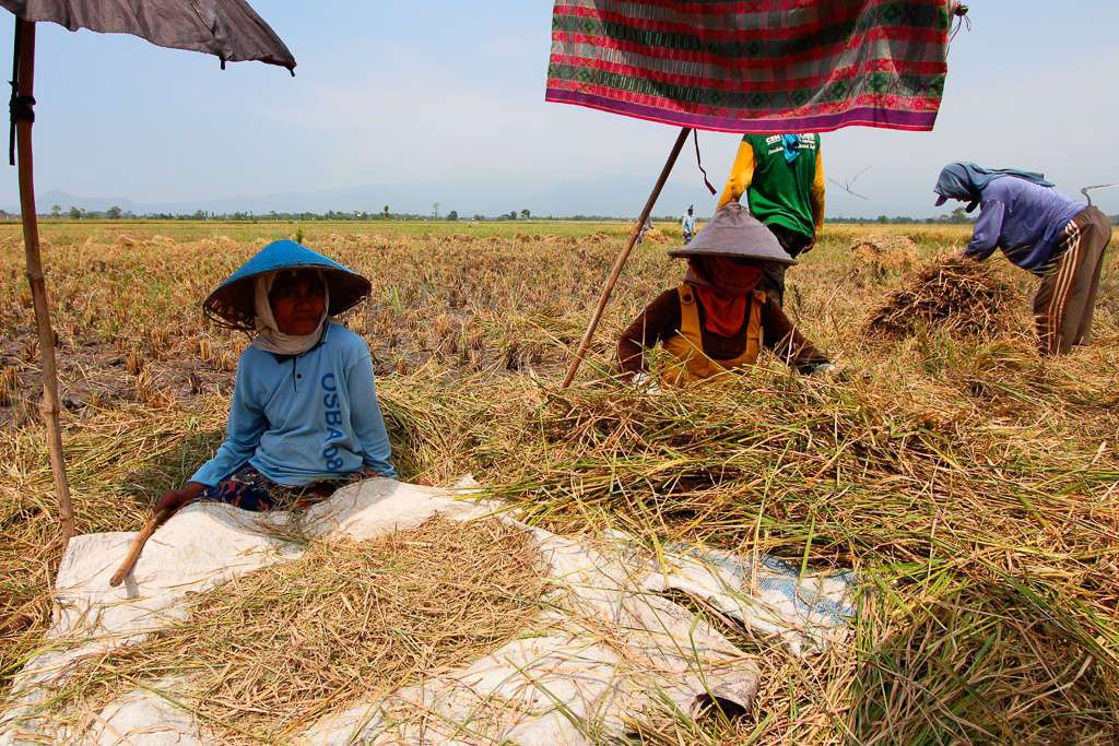 Mujeres indonesias separando el grano de arroz de la paja