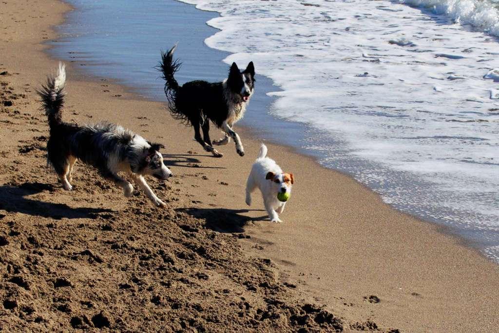 Amy jugando con otros perros en la playa del Castillo de Fuengirola