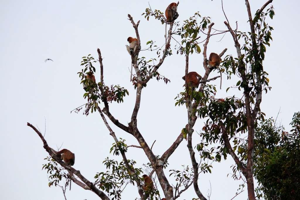 Un grupo de monos narigudos en lo alto de la copa de un árbol
