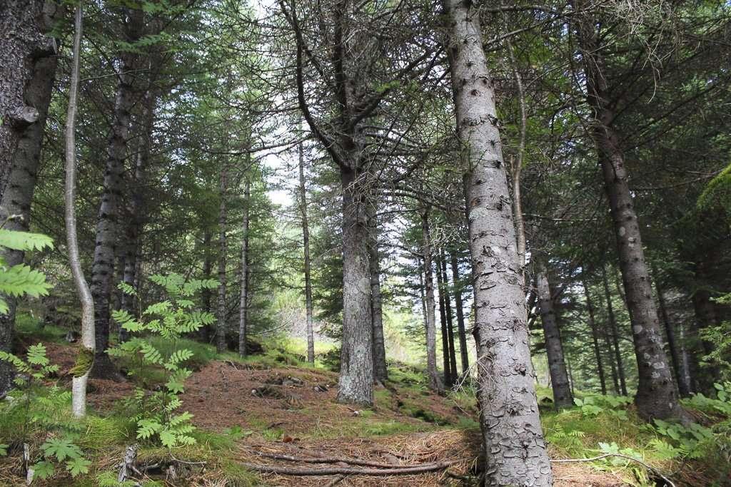Interior del bosque de Þingvellir