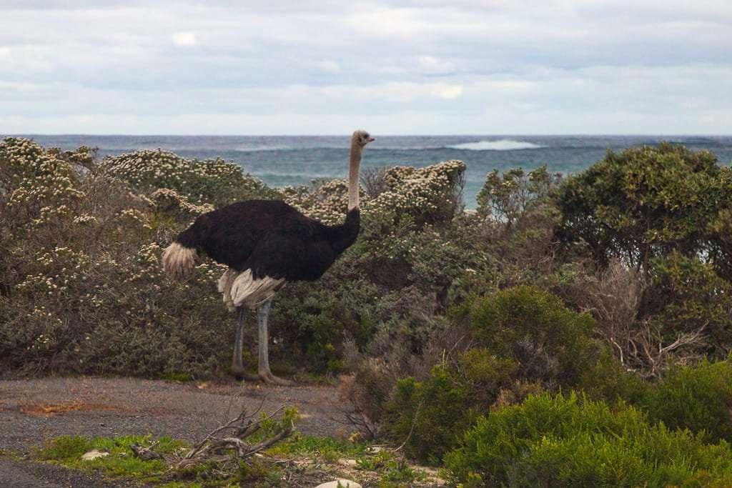Avestruz en el Cabo de Buena Esperanza, Península del Cabo, Sudáfrica