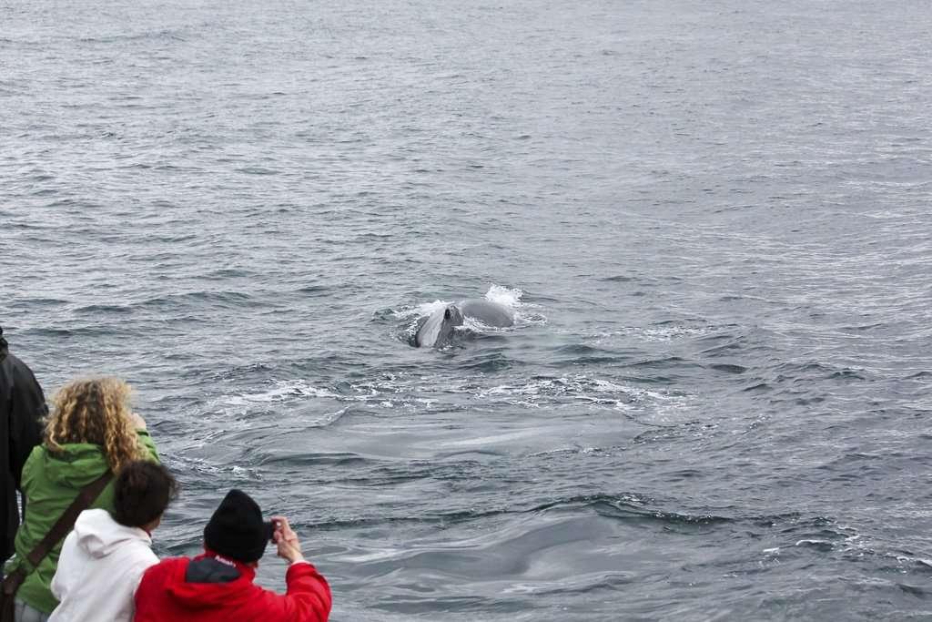 Una ballena a solo unos metros del barco en Husavík