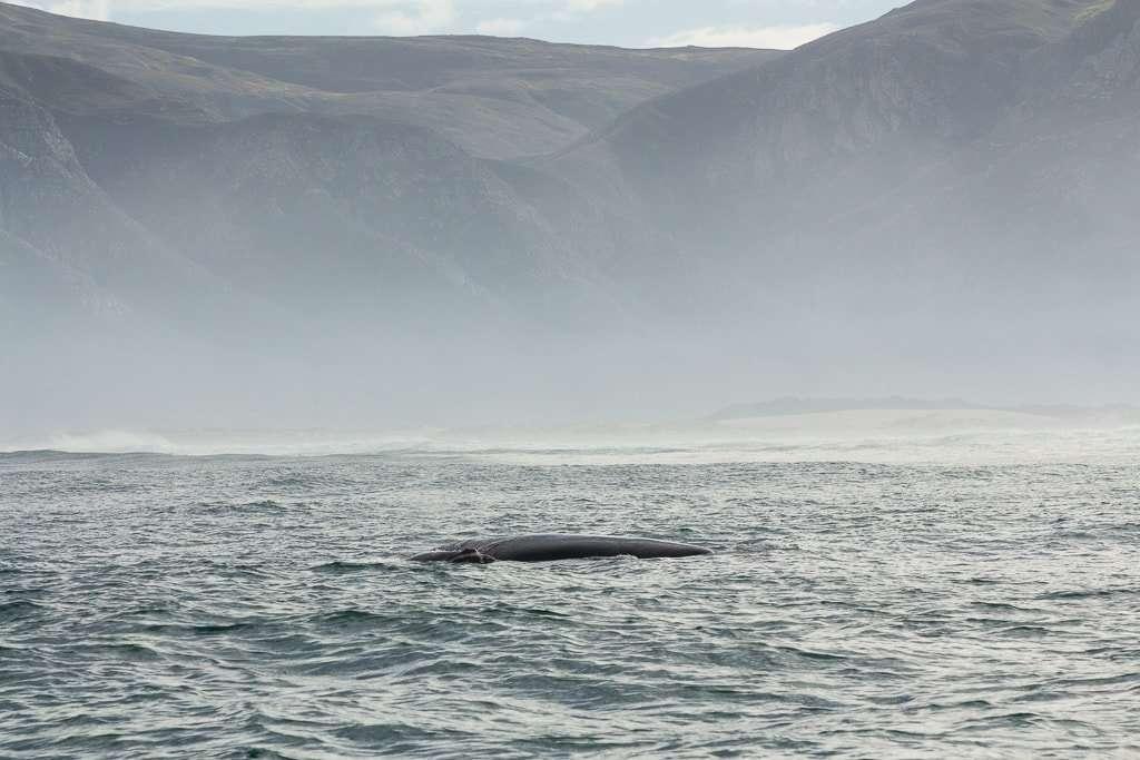 Ballena y su cría vista desde un barco en Hermanus, Sudáfrica
