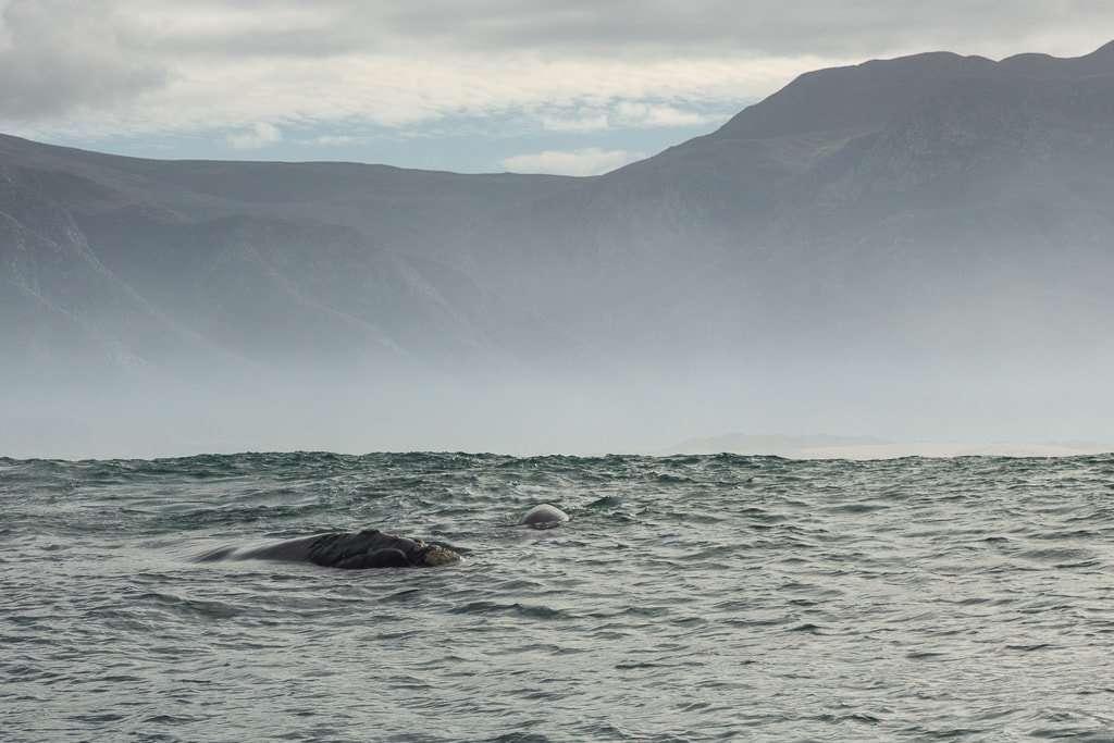 Ballena y ballenato en las costas de Hermanus, Sudáfrica