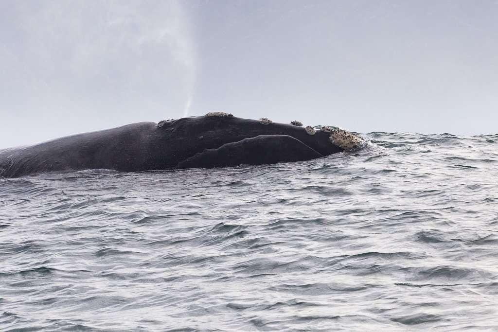 Ballena expulsando aire por el espiráculo en Hermanus, Sudáfrica