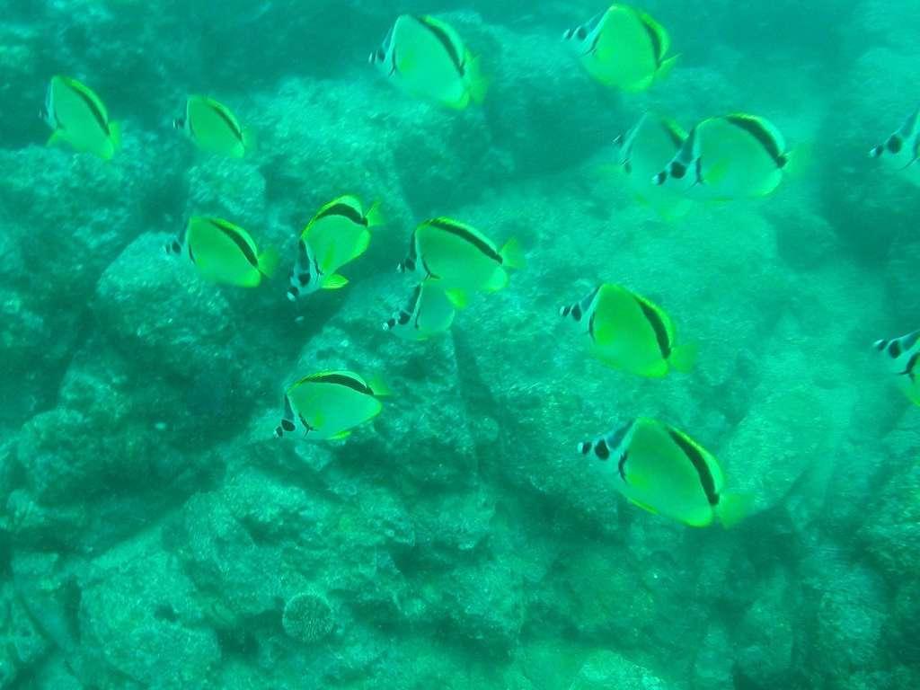 Un banco de peces mariposa amarillos en Costa Rica