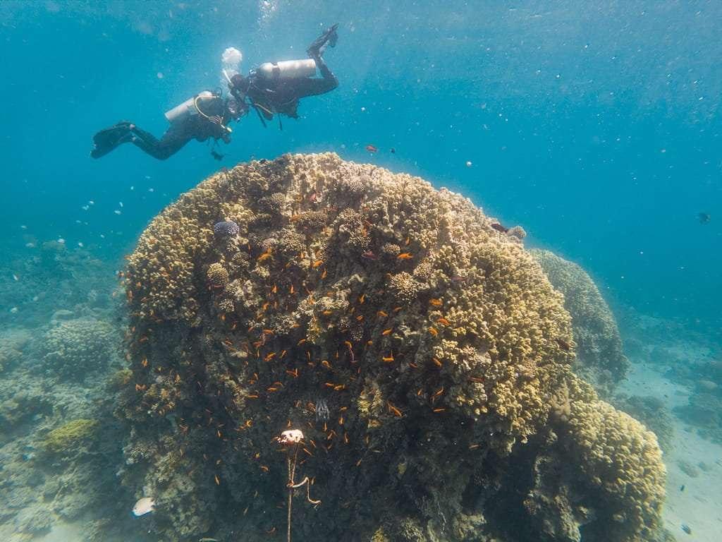 Bucenado sobre los corales en el Japanese Garden, Aqaba, mar Rojo, Jordania
