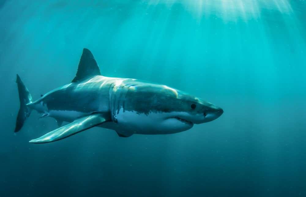Tiburón blanco en Gansbaai, Sudáfrica