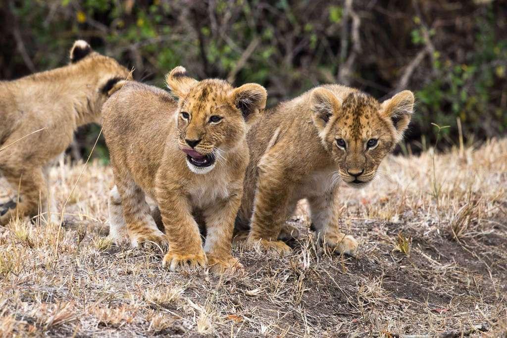 Crías de león en Masai Mara