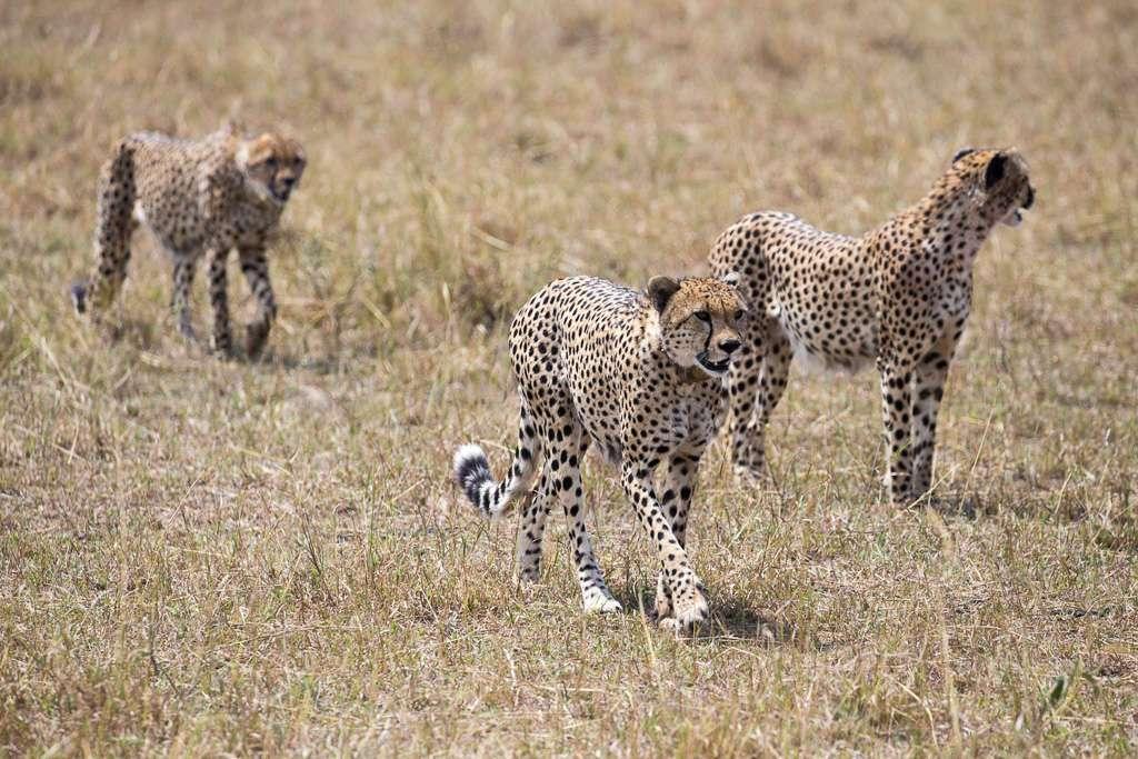 Coalición de guepardos en el Masai Mara