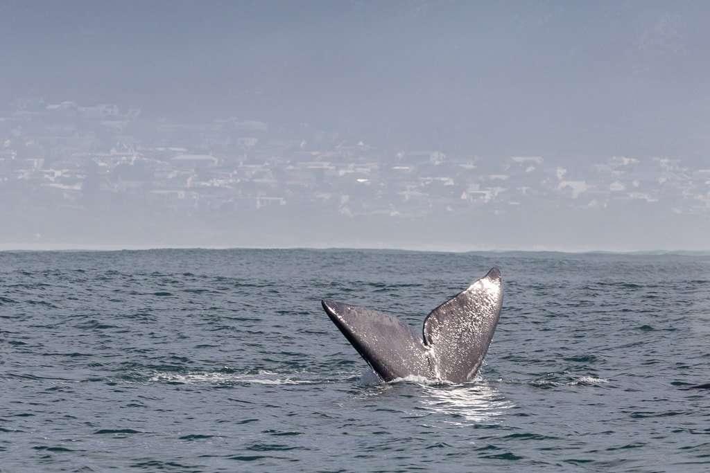 Cola de una ballena sumergiéndose en el mar, Heramnus, Sudáfrica