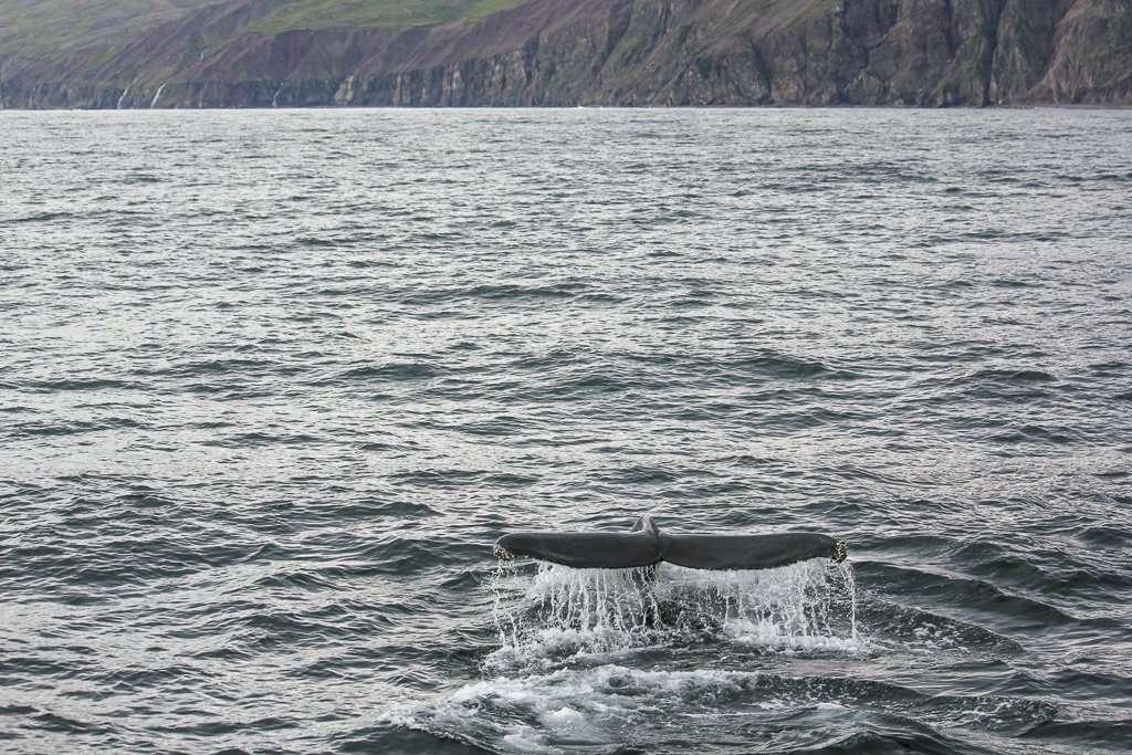 Ballena sacando la cola en la bahía de Husavík