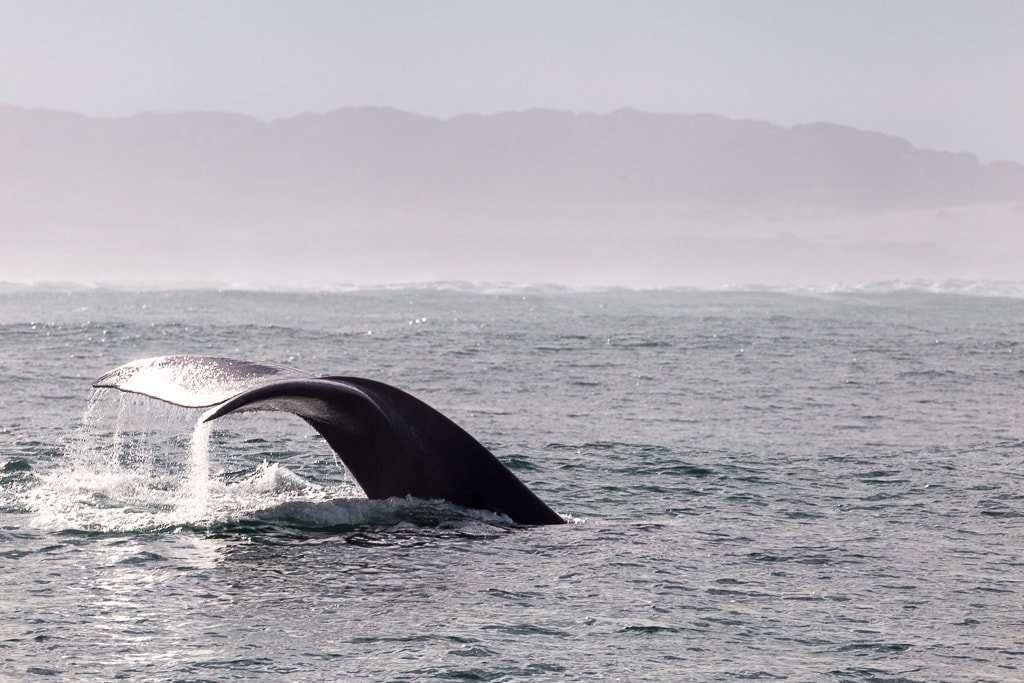Cola de una ballena sumergiéndose en el mar, Hermanus, Sudáfrica