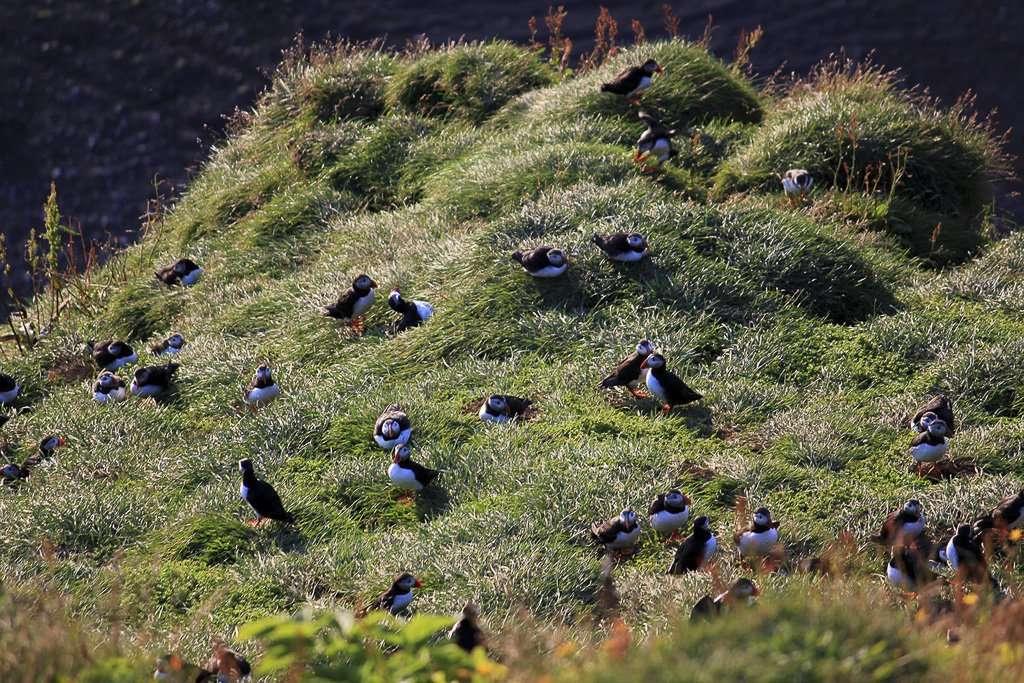 Vista de cerca de una colonia de frailecillos en Islandia