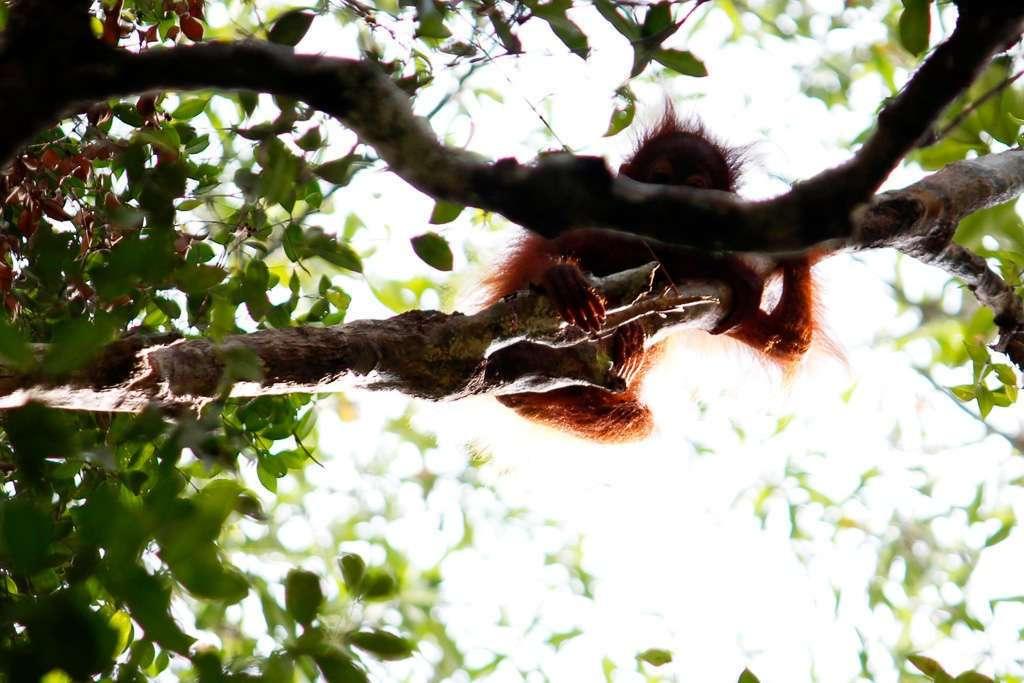 Una cría de orangután mirándonos