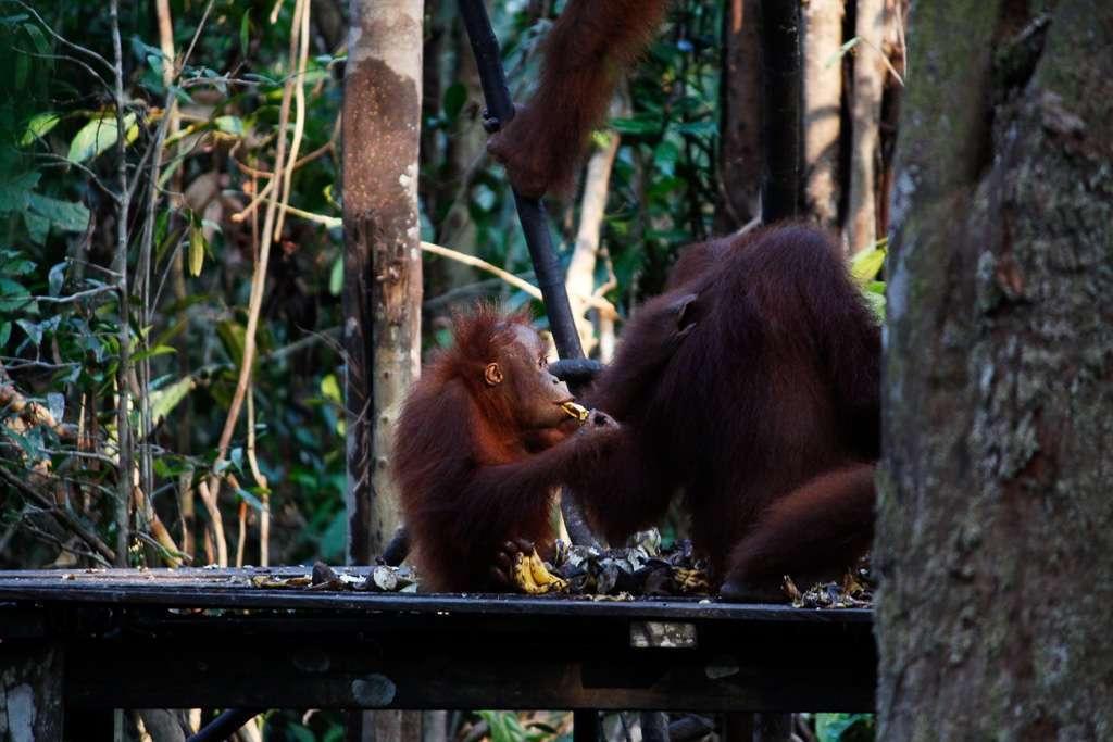 Una cría de orangután comiéndose unos plátanos en Tanjung Harapan