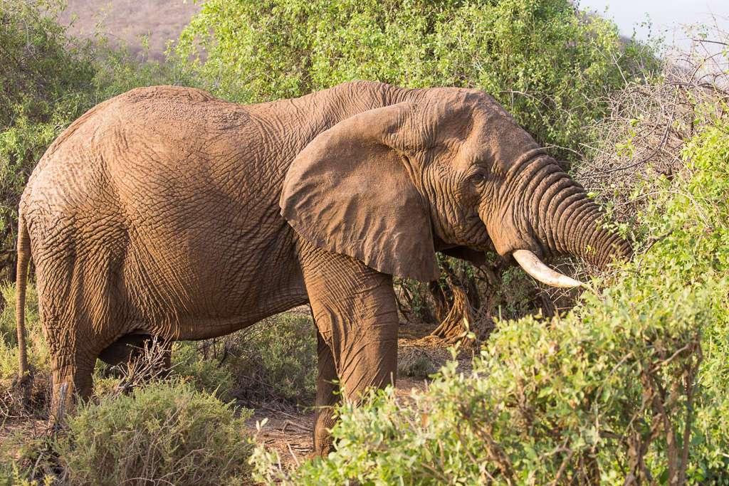 Elefante comiendo en Samburu