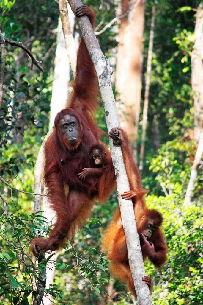 Madre orangután con sus dos crías en un árbol