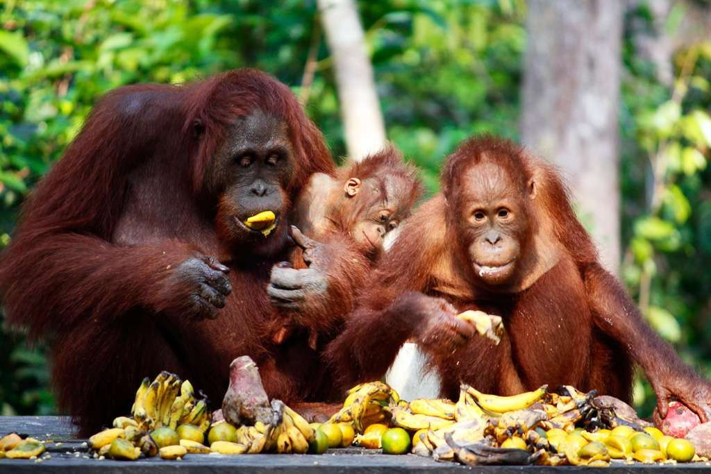 Familia de orangutanes en Borneo