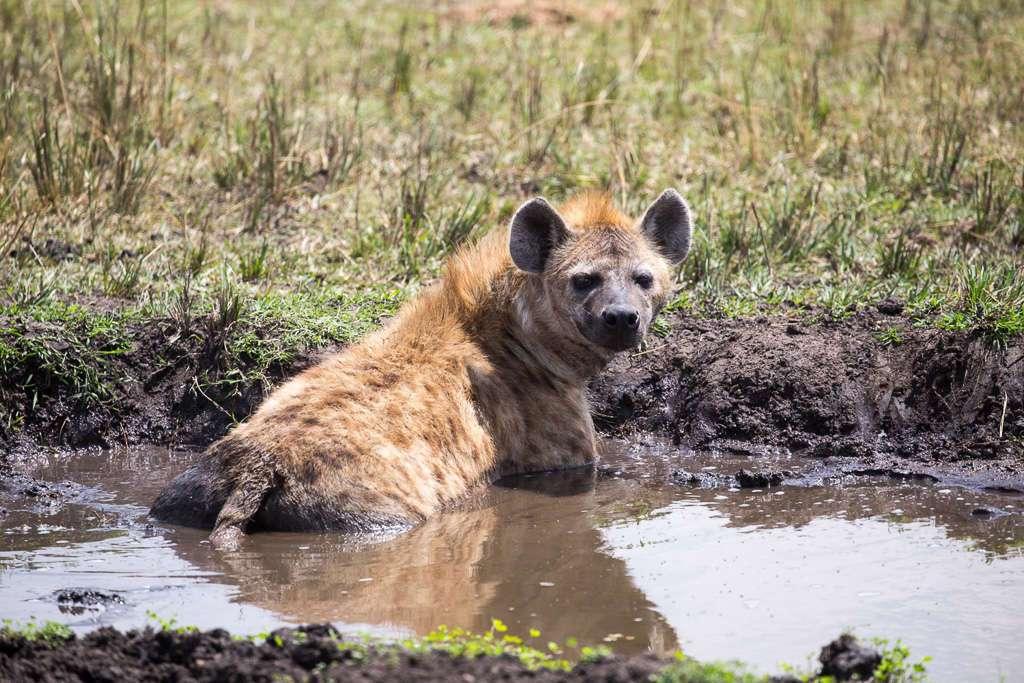 Hiena en el Masai Mara