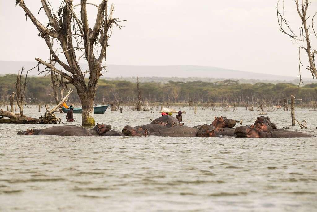 Hipopótamos en el lago Naivasha
