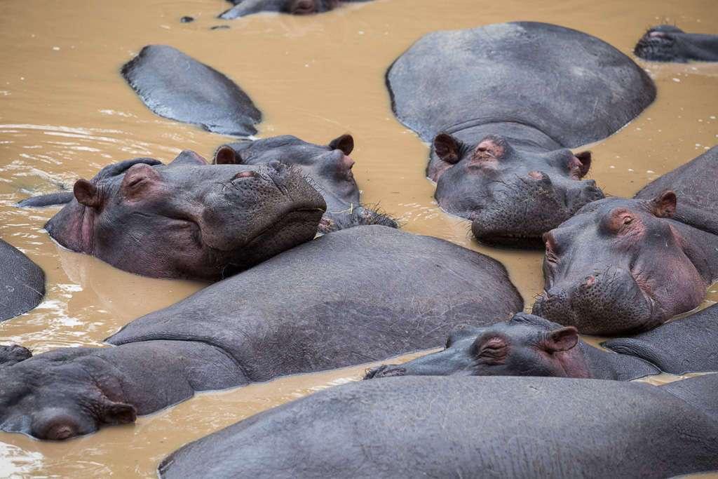 Hipopótamos en el Masai Mara