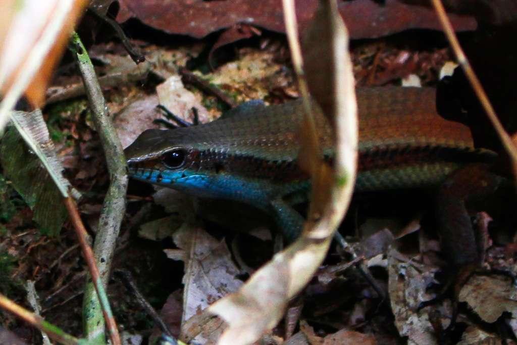 Lagarto de la jungla de Borneo