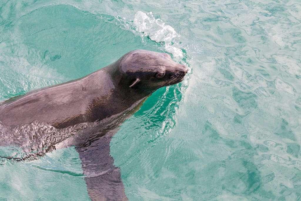 León marino siguiendo al barco de Hermanus, Sudáfrica