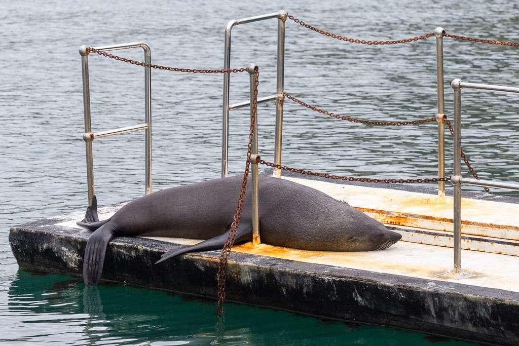 León marino tumbado en el puerto de Hout Bay, Península del Cabo, Sudáfrica