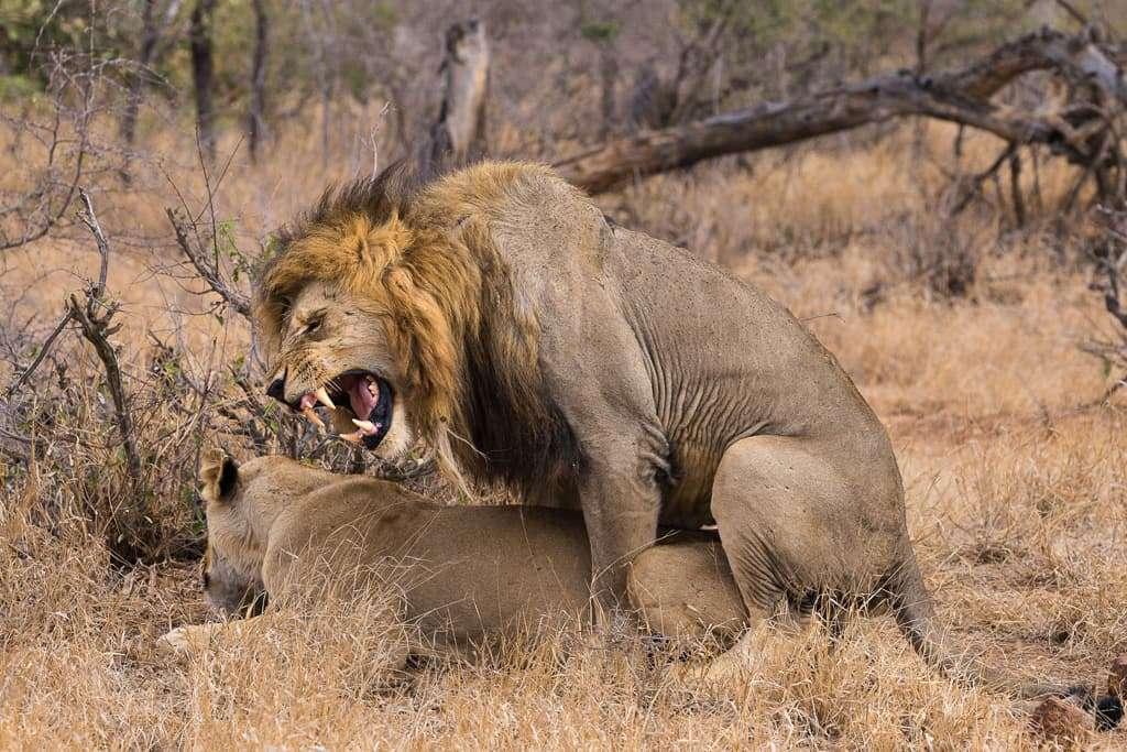 Leones dándose amor en el Kruger, Sudáfrica