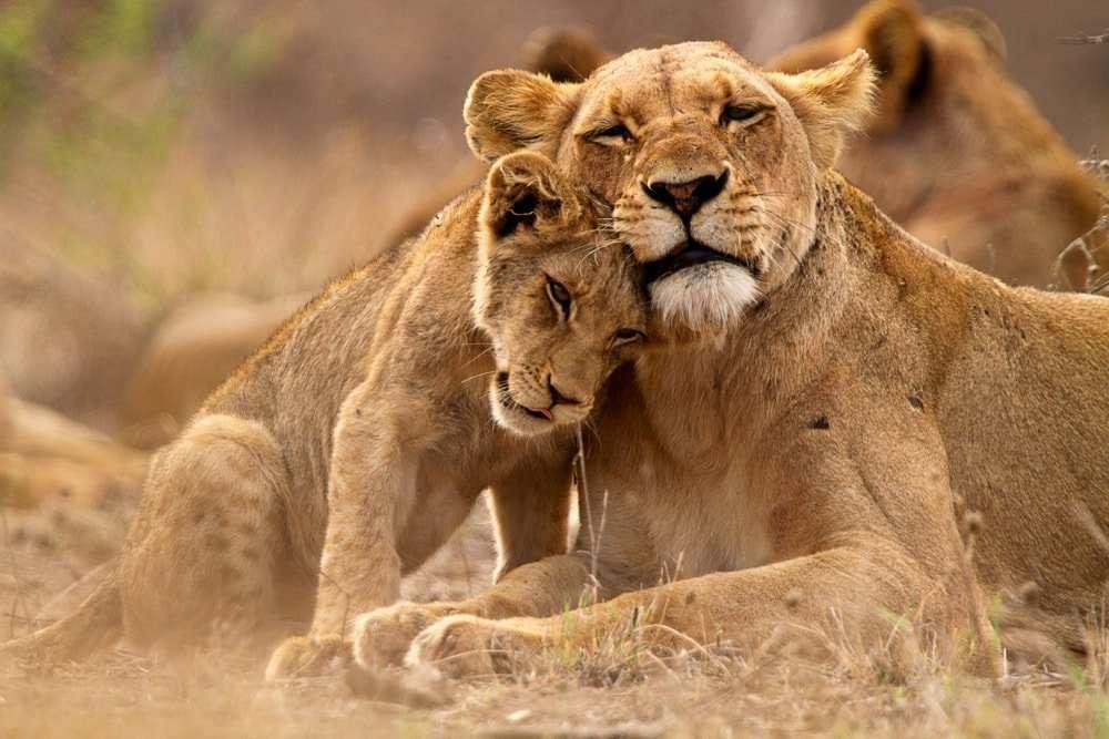 Leones en el Parque Nacional Kruger, Sudáfrica