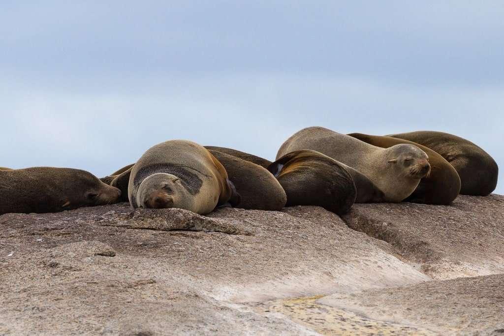 Leones marinos durmiendo en Duiker Island, Península del Cabo, Sudáfrica