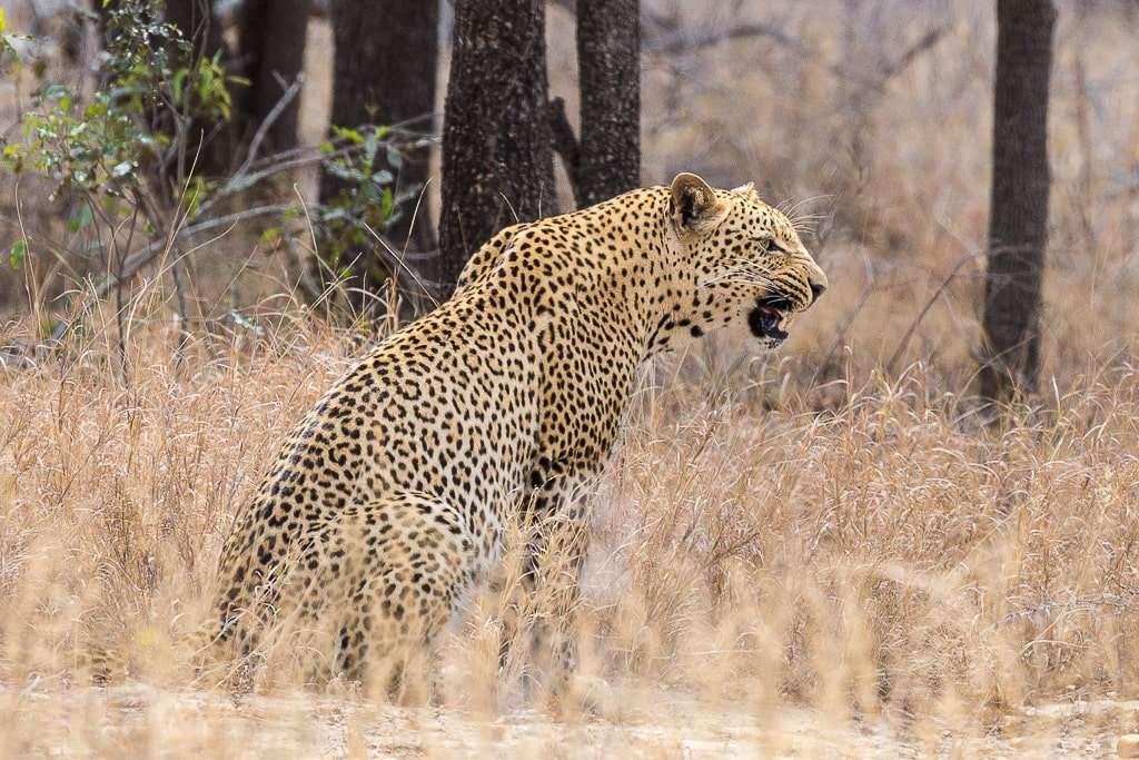 Leopardo en el Kruger, Sudáfrica