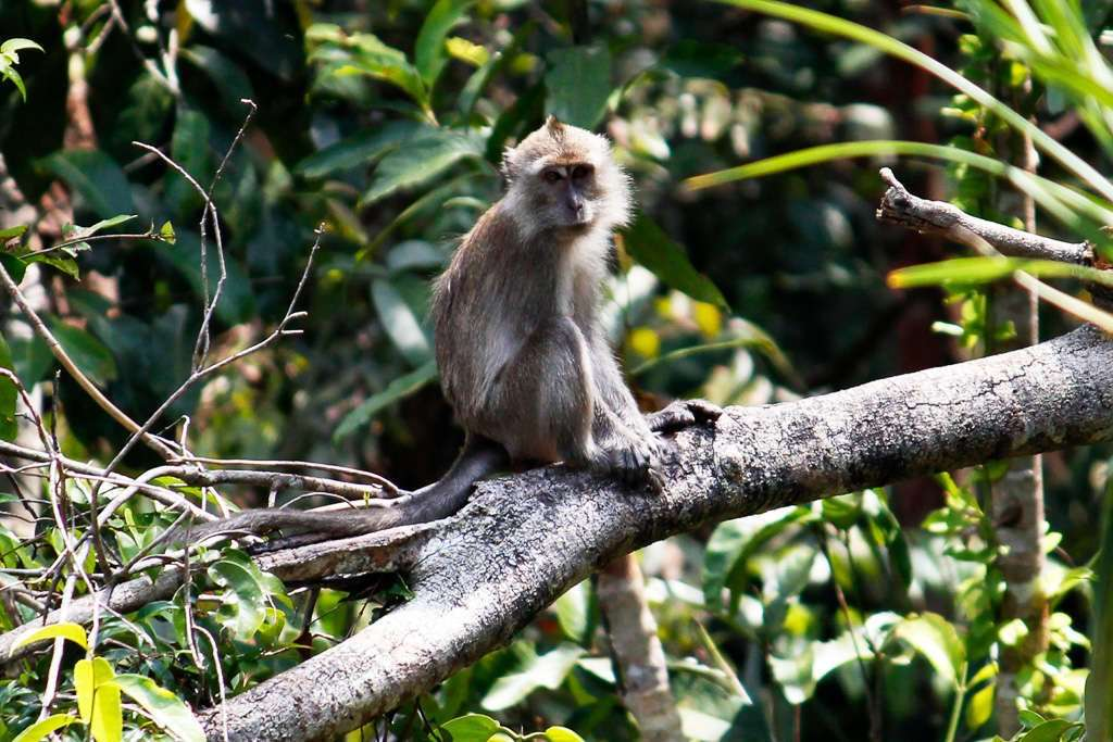 Un macaco de cola larga