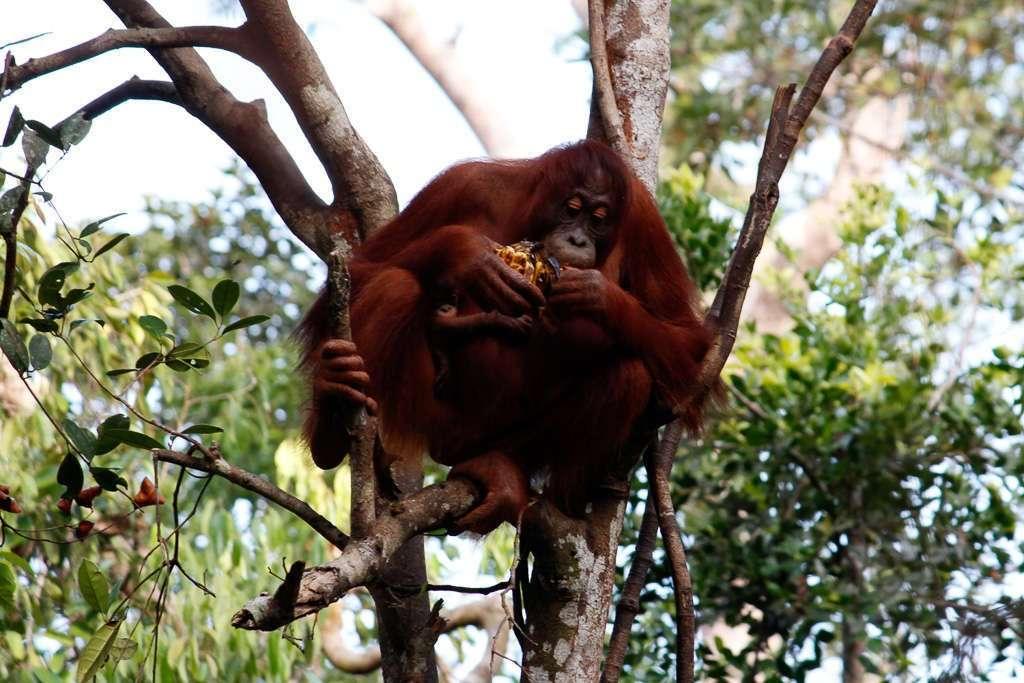 Una mamá orangután comiéndose una plátanos