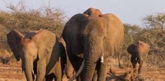 Manada de elefantes en el Kruger, Sudáfrica