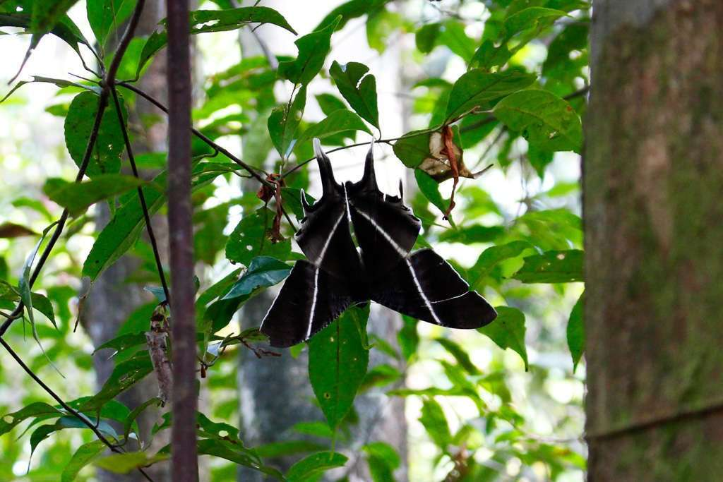 Mariposa gigante en la jungla de Borneo