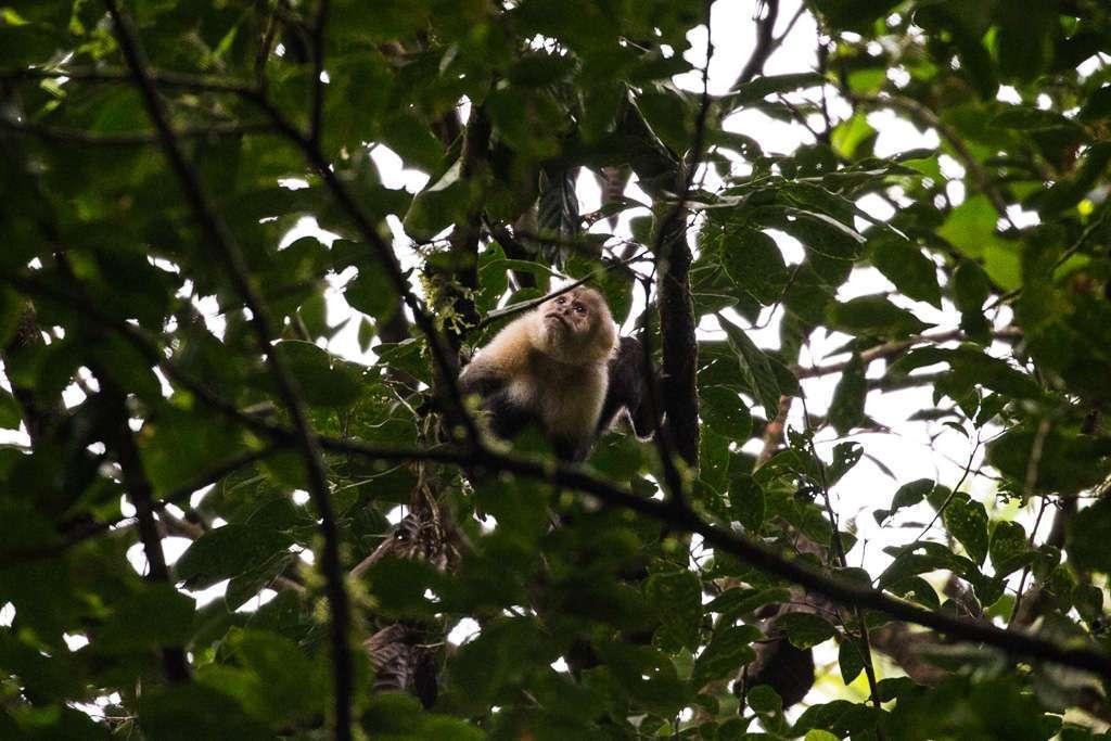 Mono carablanca en los senderos del Heliconias Lodge, Bijagua, Costa Rica