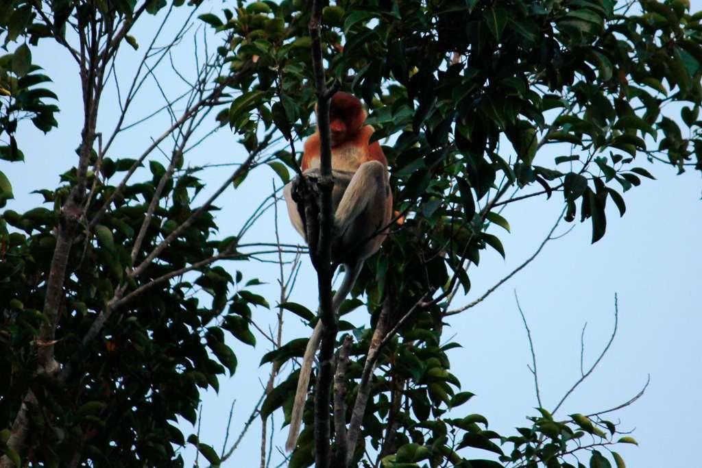 Un mono narigudo en Borneo