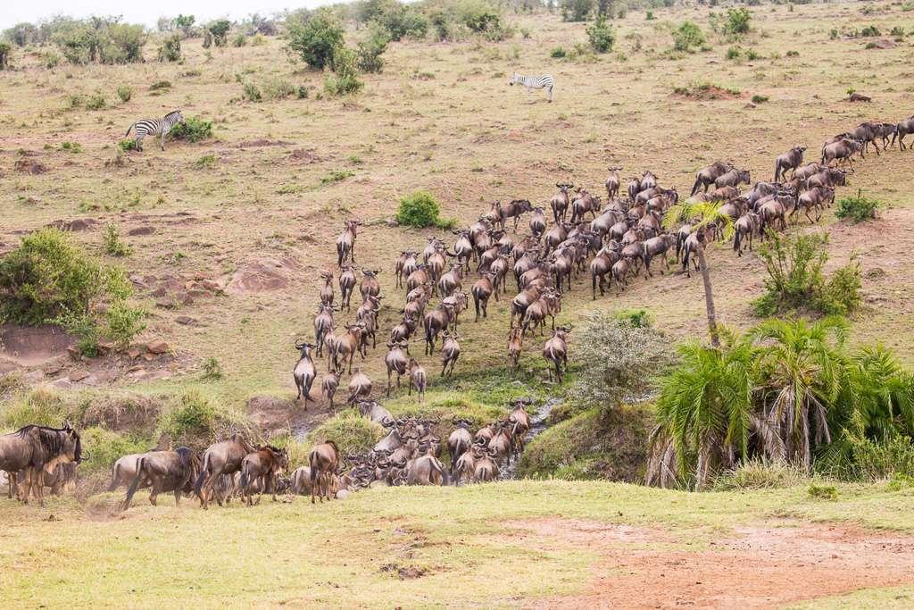Ñus cruzando un río en Masai Mara