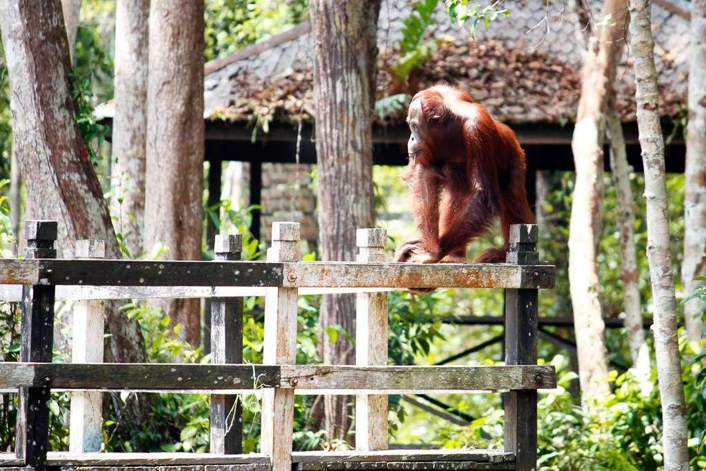 Un orangután en el embarcadero de Camp Leakey