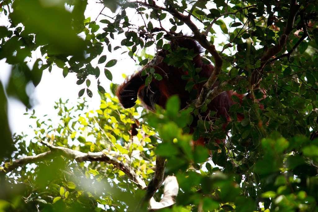 El primer orangután que vimos en Borneo