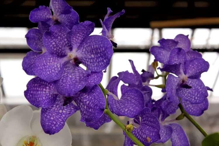 Orquídea en el Mercado de las flores