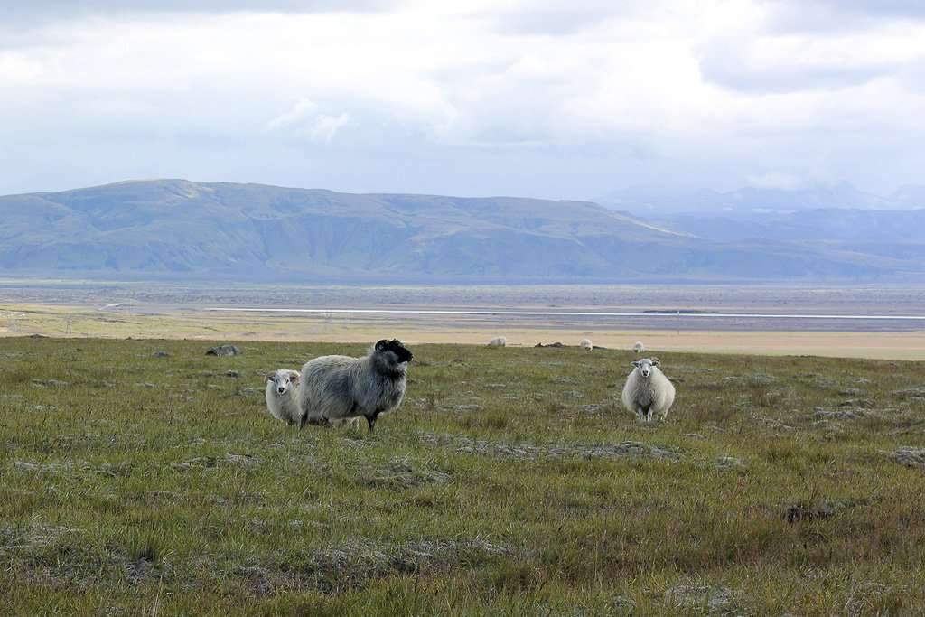 Los típicos grupos de tres ovejas de Islandia