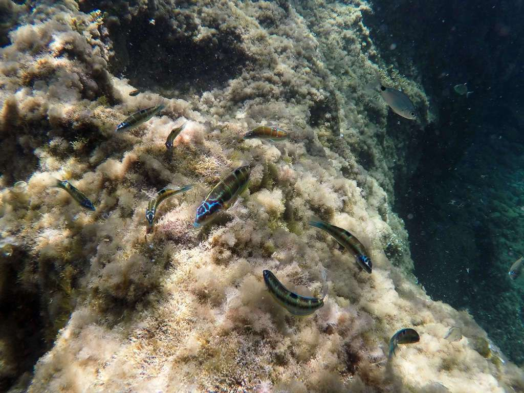 Peces de las calas de Mallorca