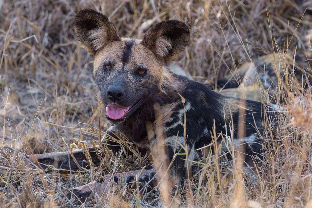 Perro salvaje en el Kruger, Sudáfrica